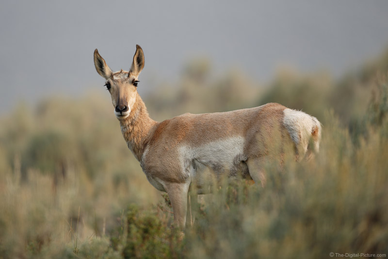 Female Pronghorn Picture