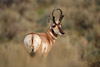 Alert Pronghorn Picture
