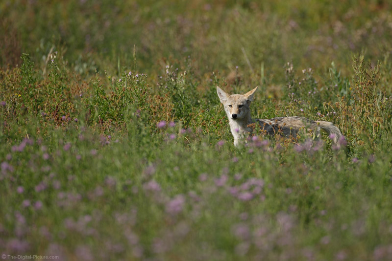 Hunting Coyote Picture