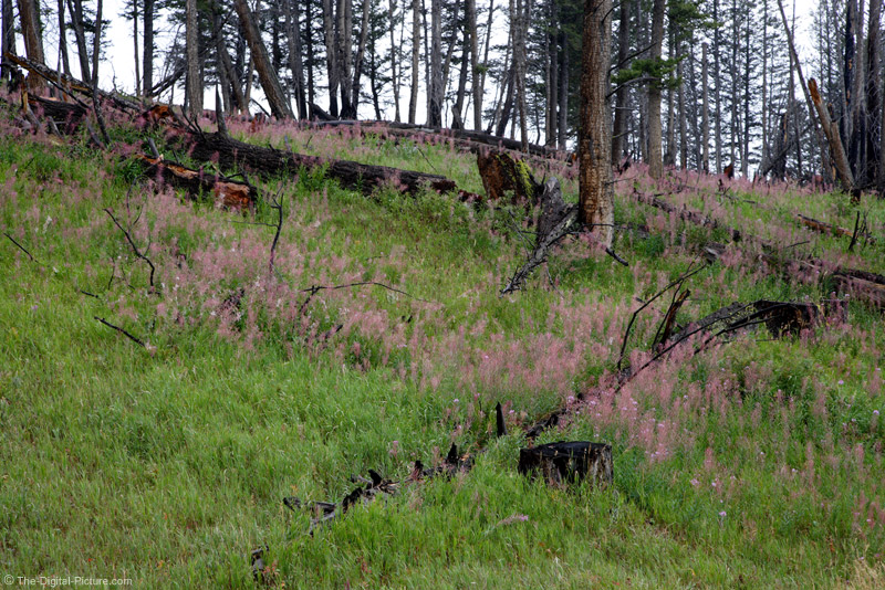 Fireweed in Forest Fire Remains