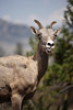 Rude Bighorn Sheep