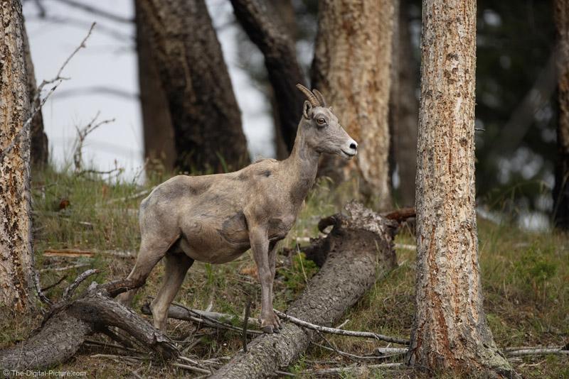 Bighorn Sheep in Woods