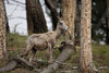 Bighorn Sheep in Woods