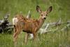 Baby Mule Deer Picture