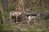 Bighorn Sheep Ewe and Lamb