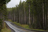 Wet Road and Lodgepole Pines in YNP