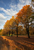 Maple Trees in Fall Color