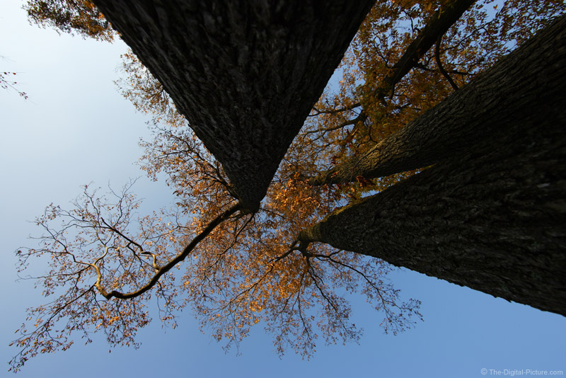 Tall Trees Picture