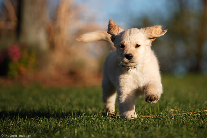 Running Puppy Picture
