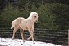 Prancing Palomino Horse Picture
