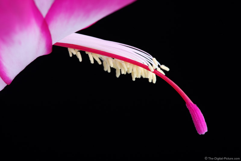 Christmas Cactus Close-up Picture