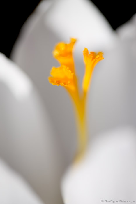 White Crocus Close-up Picture