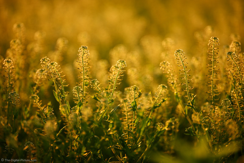 Weeds at Sunset
