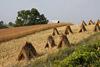 Amish Wheat Harvest