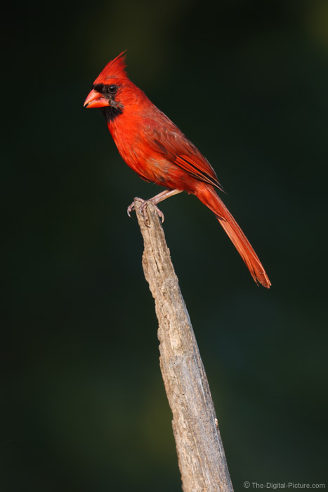 Male Cardinal Picture