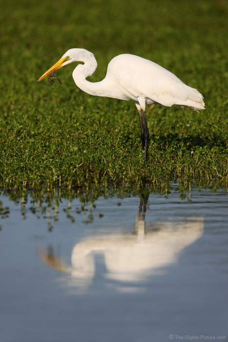 Great Egret with Dragonfly Picture