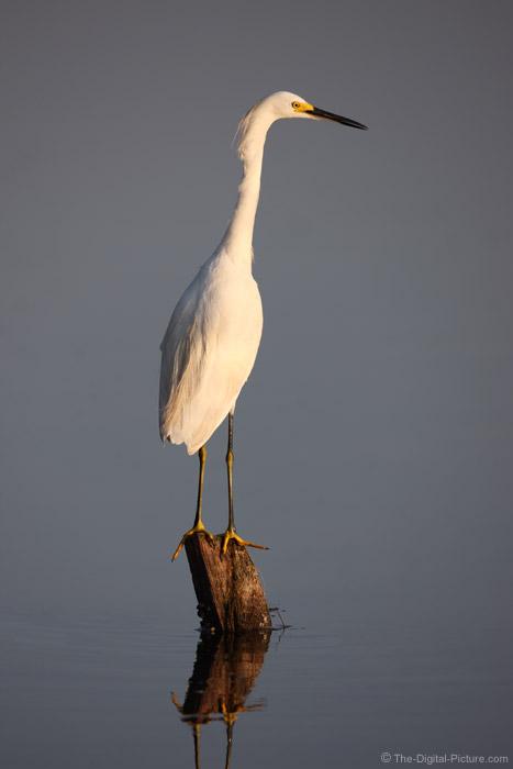 Snowy Egret Picture