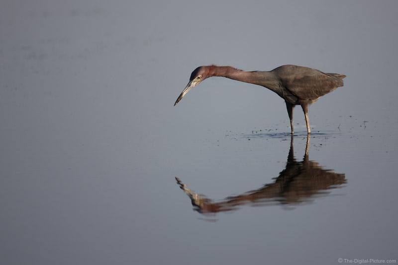 Little Blue Heron Picture