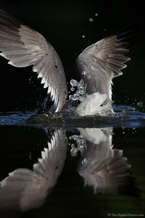 Gull Diving for Fish