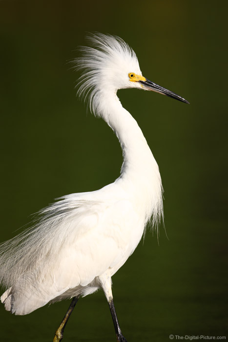 Snowy Egret Showing Plumage