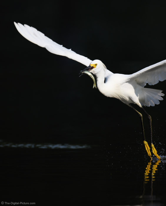 Snowy Egret Flying with Fish