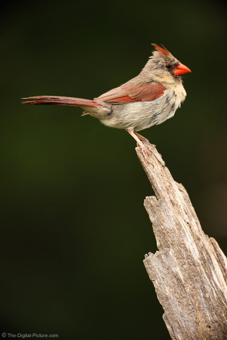 Female Cardinal Picture