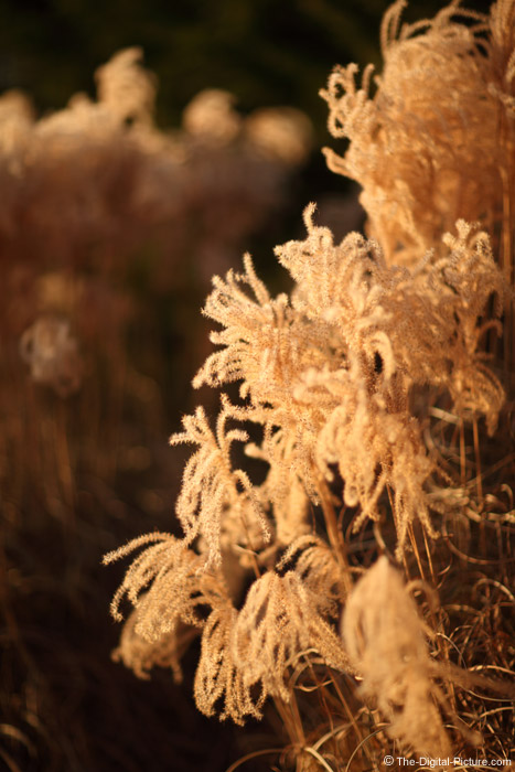 Backlit Maiden Grass in Winter