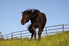 Horse Shake