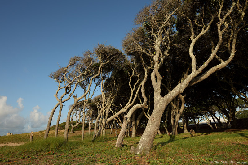 Bent Fort Fisher Trees