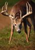 Huge Whitetail Buck