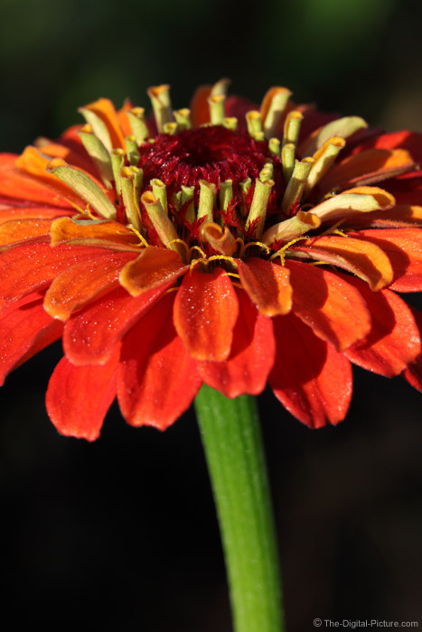 Orange Zinnia Picture