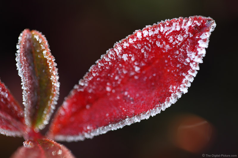 Hoar Frosted Fall Leaf
