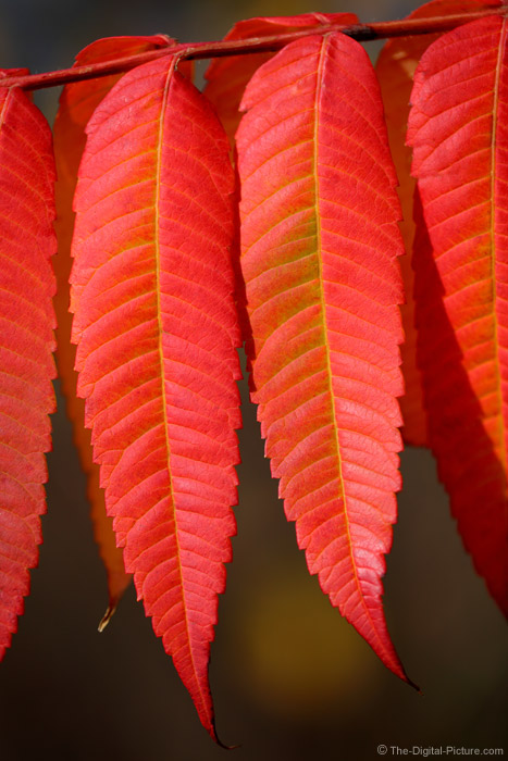 Fall Sumac Leaves