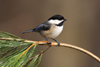 Black-capped Chickadee in the Sun