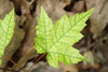 New Maple Leaf