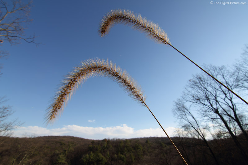 Grass Seed Plumes