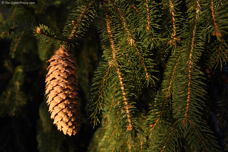 Weeping Norway Spruce Pine Cone
