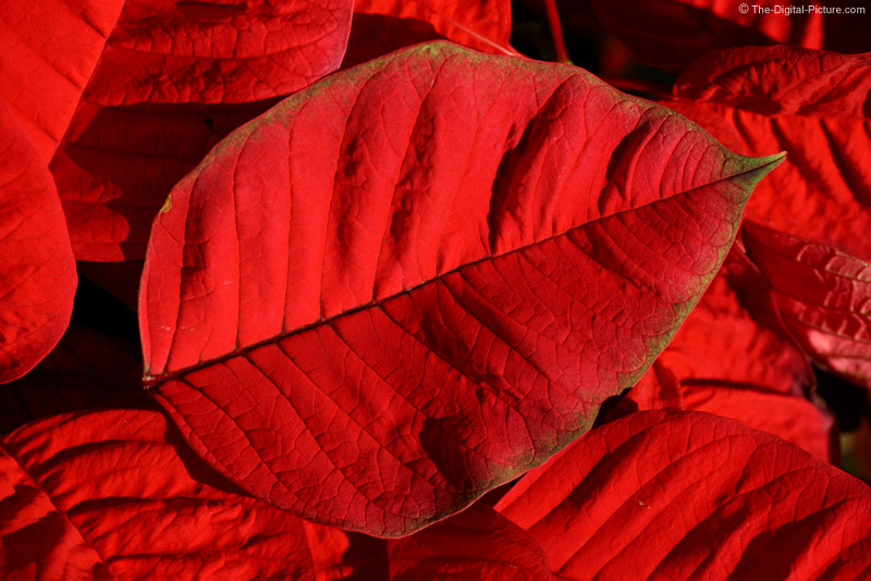 Poinsettia Leaf Picture