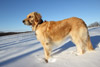 Alert Golden Retriever in Snow