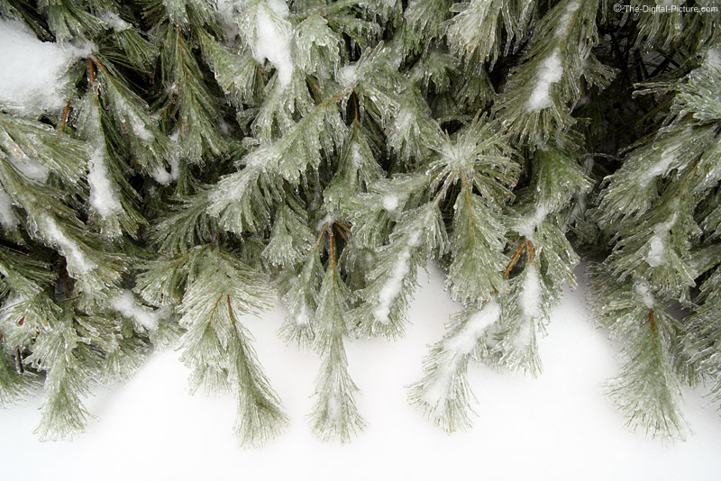 Ice-stormed White Pine Trees