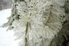 Ice-covered White Pine Tree