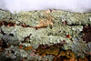 Lichens and Snow Picture