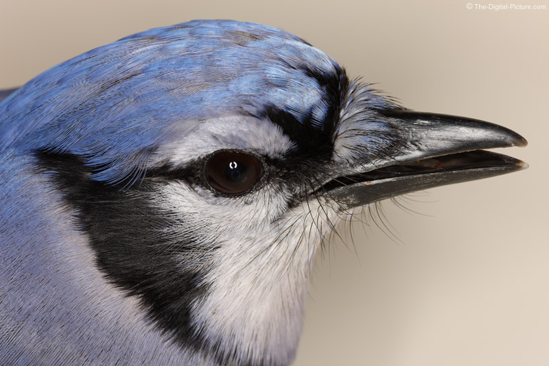 Blue Jay Close-up Picture