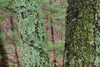 Lichens and Moss on Oak Trees