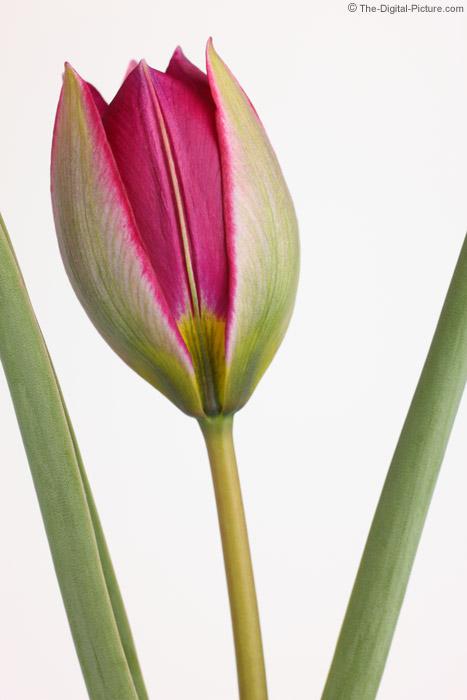 Botanical Tulip Picture