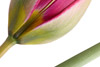 Artistic Botanical Tulip Composition
