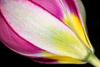 Unraveling Botanical Tulip
