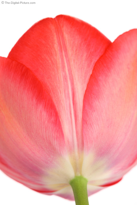 Side View of a Tulip
