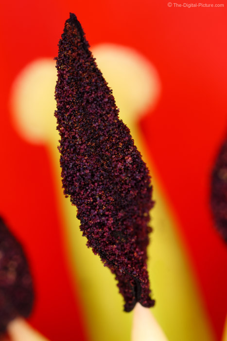 Tulip Stamen Super Macro Picture