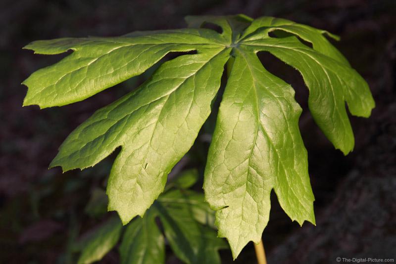 Leaf Hopper on Mayflower